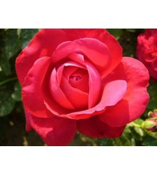 Trandafir teahibrid Dame de Coeur, Ciumbrud Plant