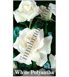 Trandafir floribunda Alb, Ciumbrud Plant
