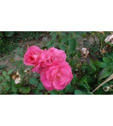 Trandafir floribunda Guliver, Ciumbrud Plant