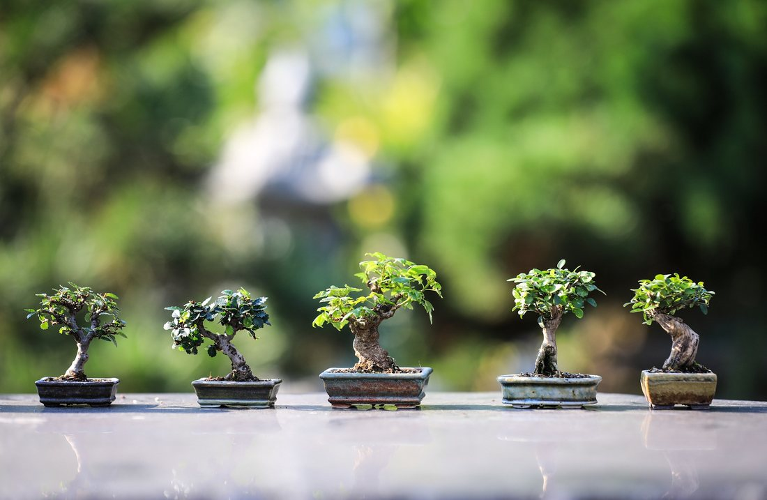 Bonsaiul - specii de plante, plantare si ingrijire