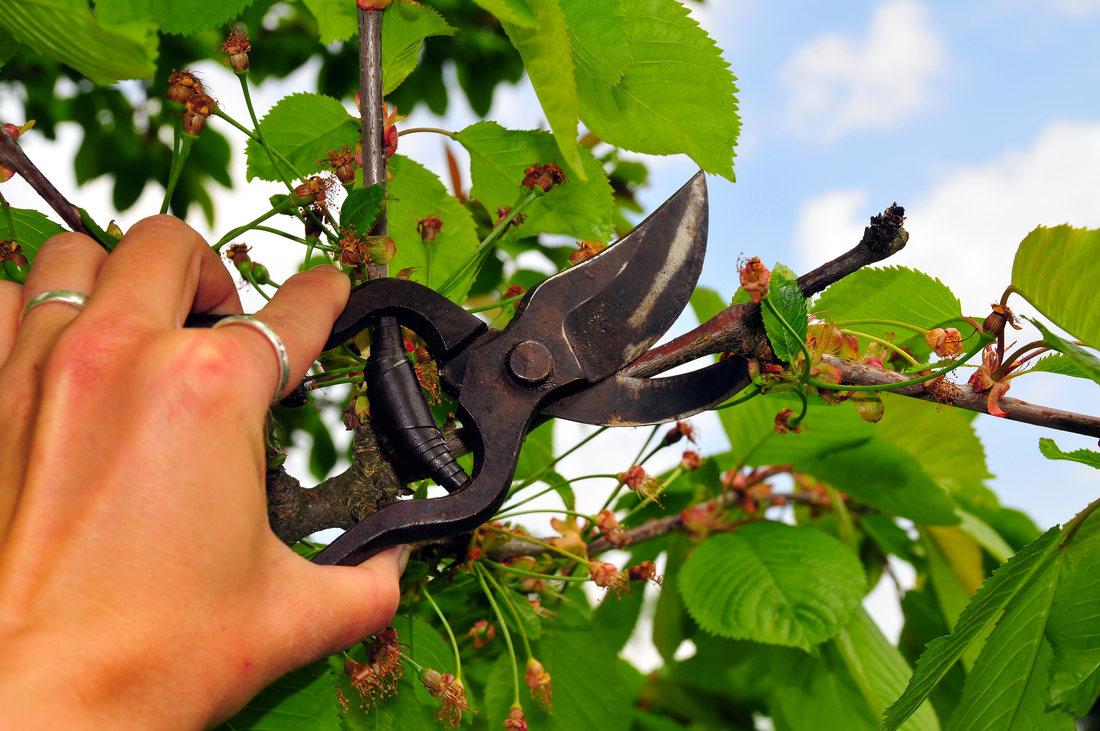 Taieri si operatiuni in verde la pomii fructiferi