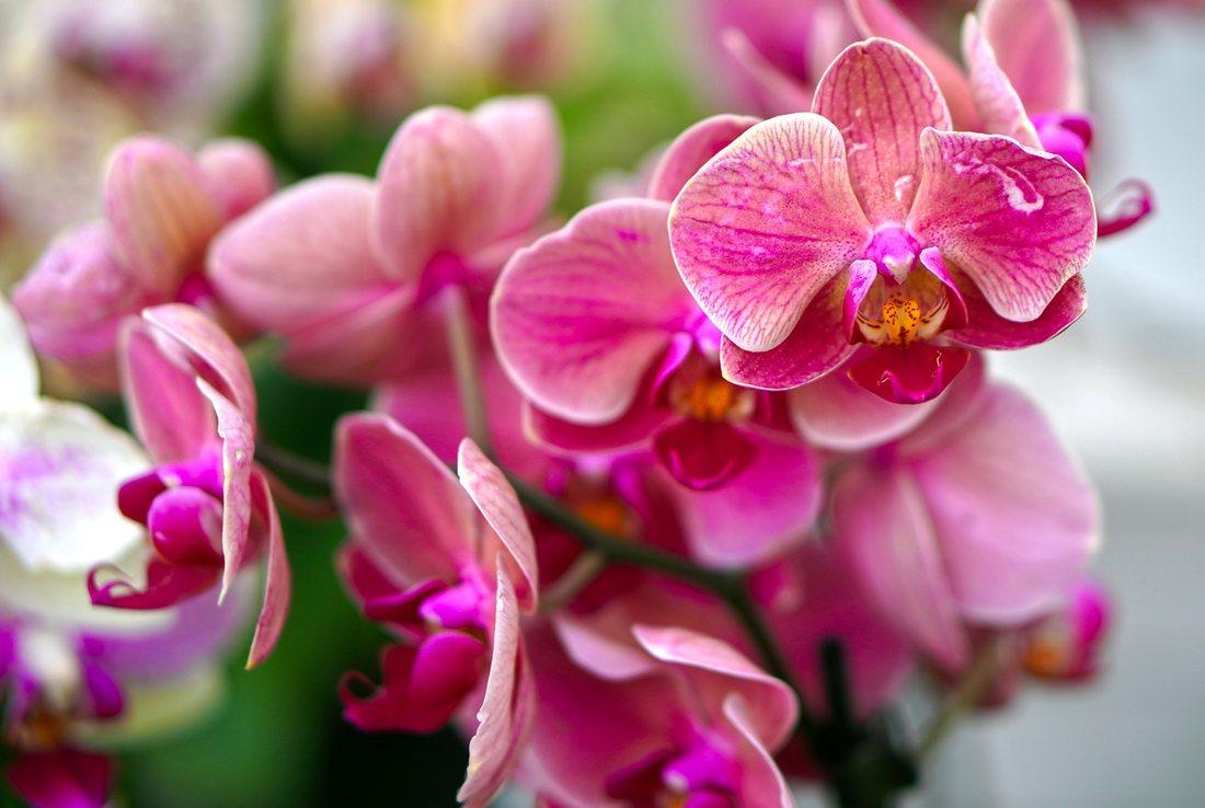 Cum crestem si intretinem orhideea, vedeta plantelor de interior cu flori
