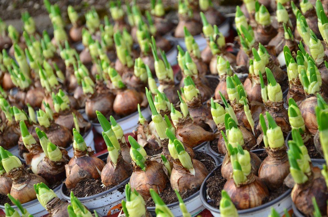 Ghidul tau pentru plantarea bulbilor