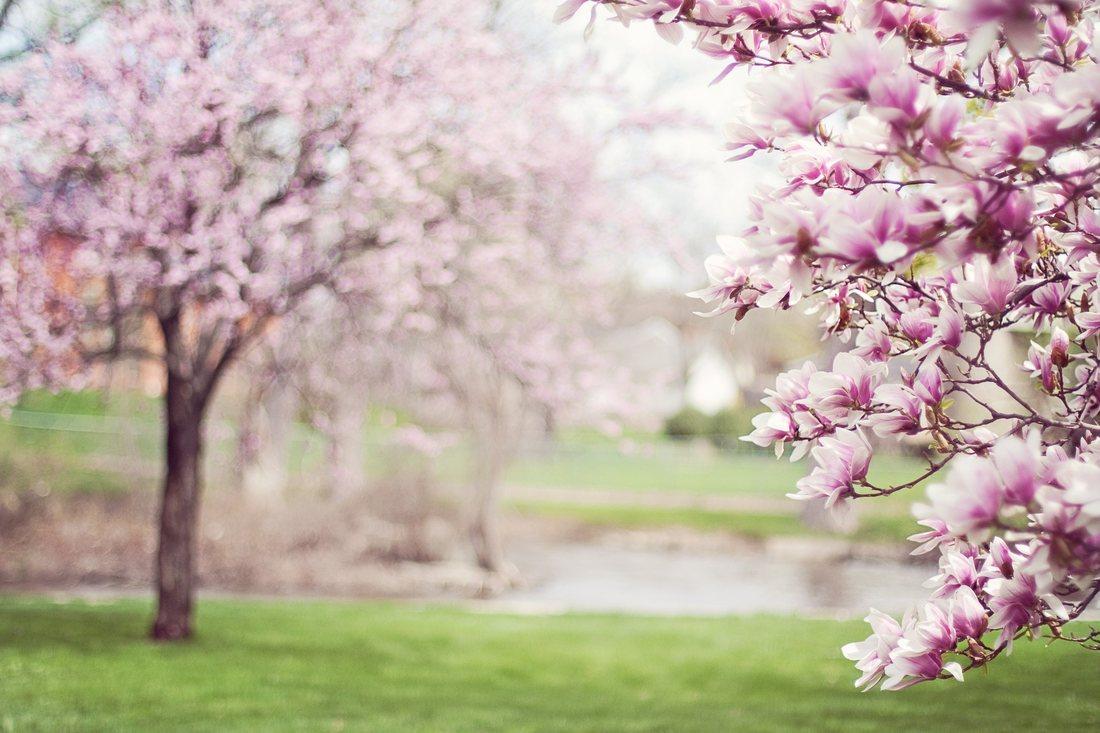Magnolia, copacul cu flori magice. Plantare, crestere, ingrijire