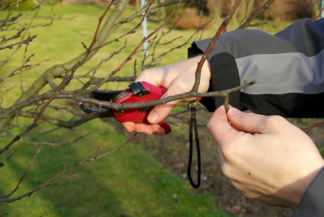 Taierea pomilor fructiferi in repaus vegetativ