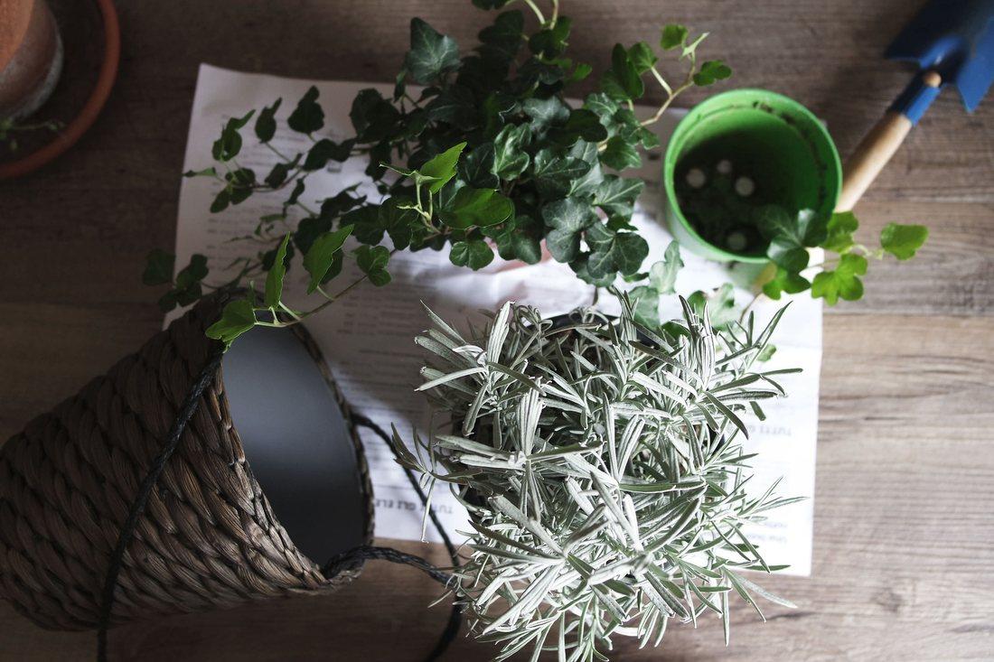 Transplantarea plantelor de interior in ghivece mai spatioase pentru o crestere sanatoasa