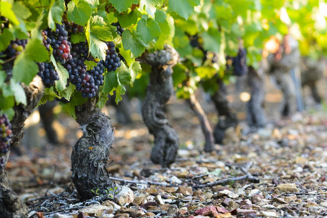 Viticultura in Romania: cele mai apreciate soiuri de struguri