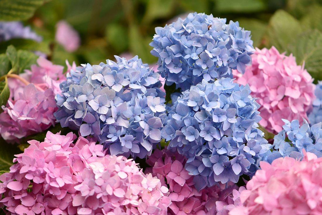 Hortensia - cameleonul gradinilor de vara