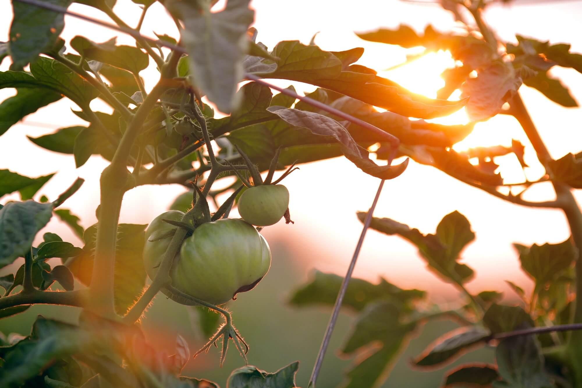 Cand si cum sa folosesti fungicidele in agricultura