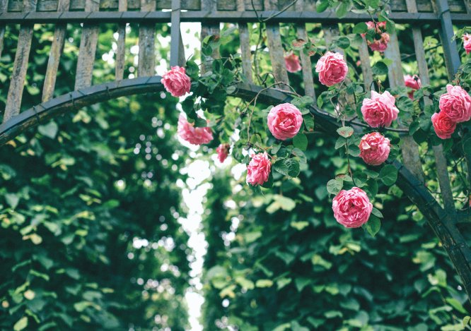 Tot ce trebuie sa stii despre trandafirii urcatori