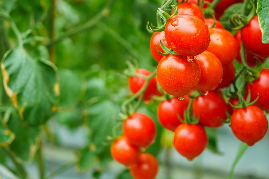 Patarea cafenie a tomatelor - Cladosporium fulvum (Fulvia fulva)