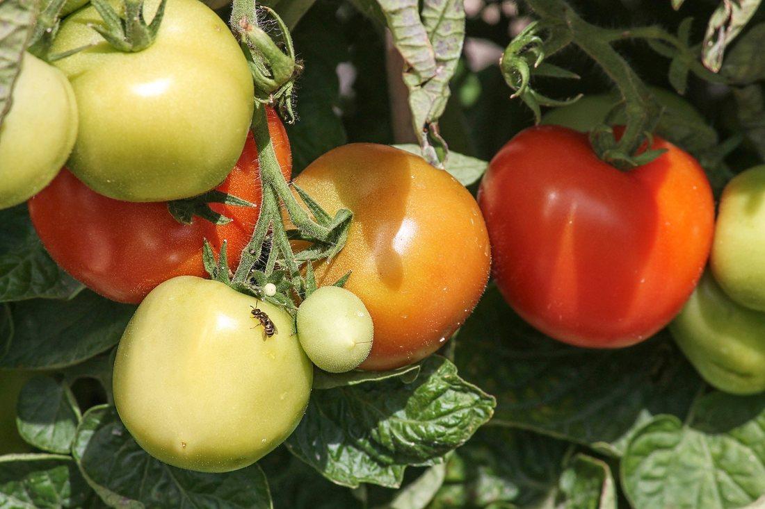 Principalii daunatori ai culturii de tomate