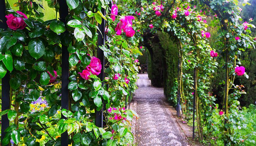 Tu stii cum se planteaza si se ingrijesc trandafirii?