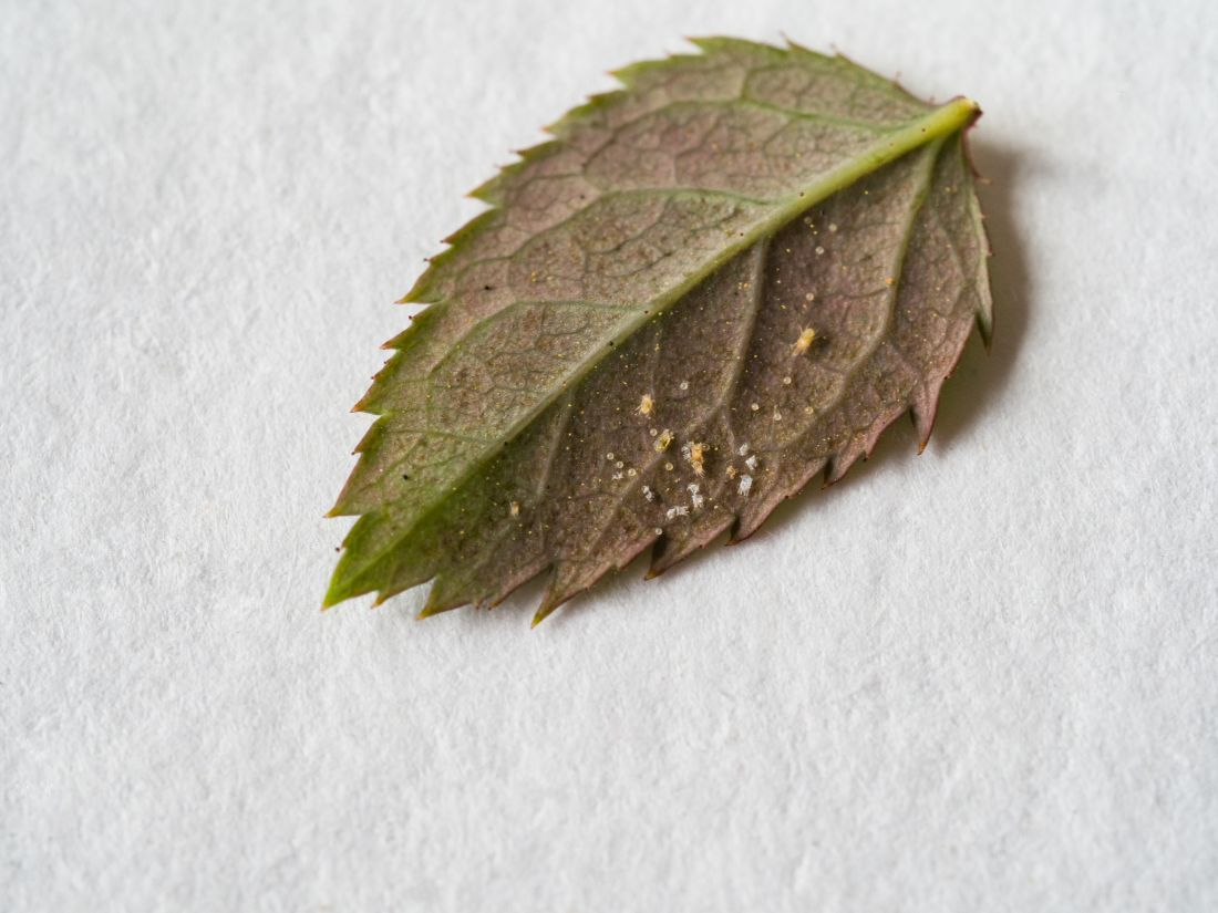 farmbee-bolile-si-daunatorii-trandafirilor-acarienii
